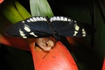 Heliconius cydno